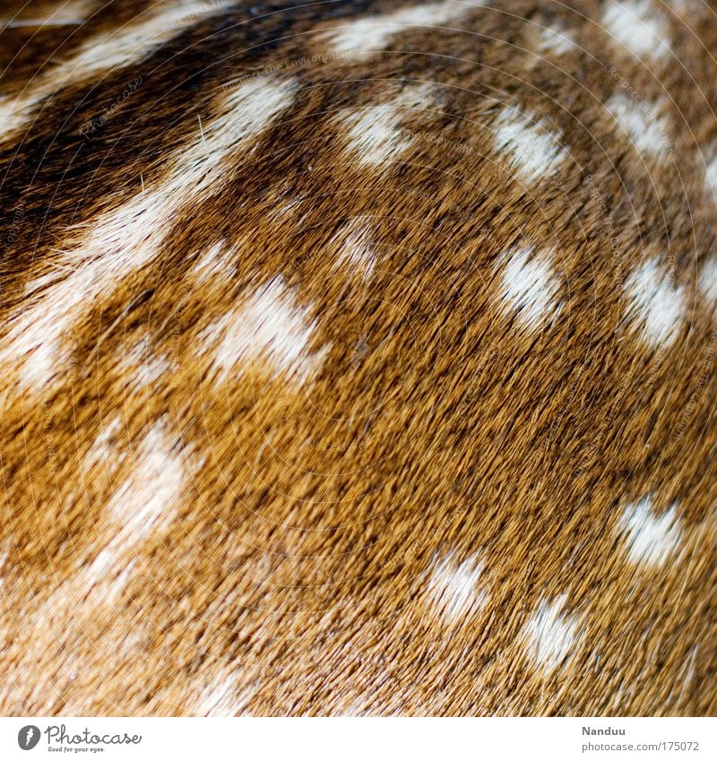 Score (>400) Nature Wild animal 1 Animal Baby animal Warmth Soft Beginning Fawn Pelt Detail Point Pattern Structures and shapes Background picture
