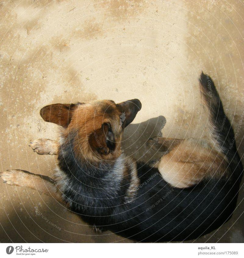 Dog Animal Sand Lie Back Ear Pet Tails German Shepherd Dog
