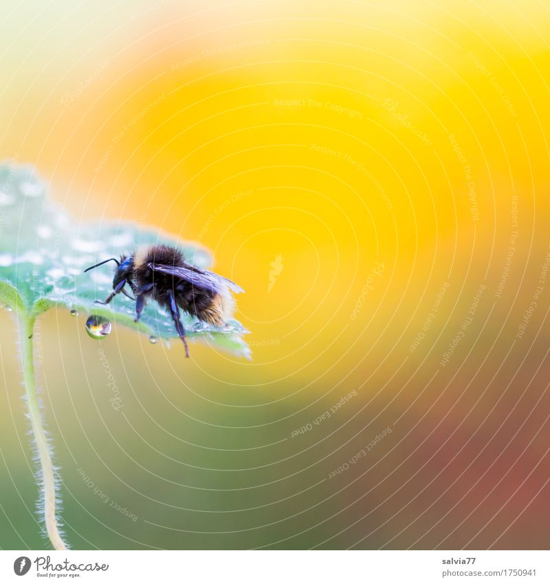 Early in the morning Environment Nature Plant Animal Drops of water Summer Leaf Dew Farm animal Wing Bumble bee Insect 1 Crawl Fresh Natural Above Yellow Green