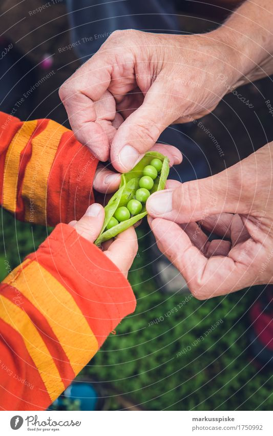 fresh organic peas harvest Food Vegetable Peas Pea pods Nutrition Eating Picnic Organic produce Vegetarian diet Diet Fasting Slow food Finger food Healthy