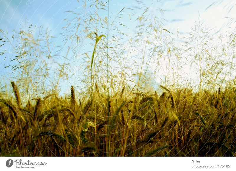 Sky Nature Summer Plant Landscape Environment Autumn Bright Field Weather Gold Climate Food Nutrition Esthetic Beautiful weather