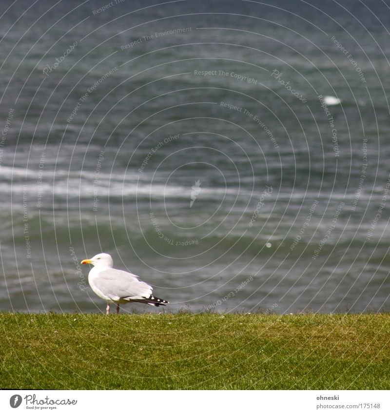 seagull scottish Subdued colour Exterior shot Copy Space top Copy Space middle Animal portrait Profile Water Waves Coast North Sea Bird Seagull 1 Crouch Looking