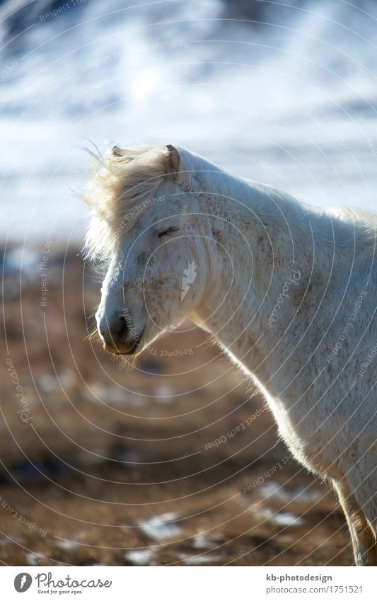Portrait of a white Icelandic horse Tourism Adventure Far-off places Winter Winter vacation Horse 1 Animal Vacation & Travel Jump windy Iceland pony