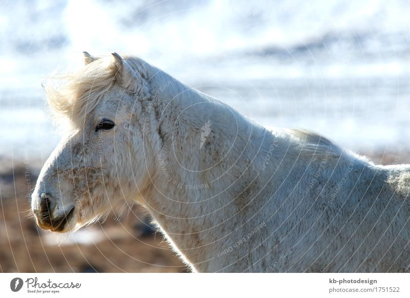Portrait of a white Icelandic horse Winter Horse 1 Animal Vacation & Travel Iceland pony Iceland ponies snow weather mane Bangs stallion mare Icelanders ride