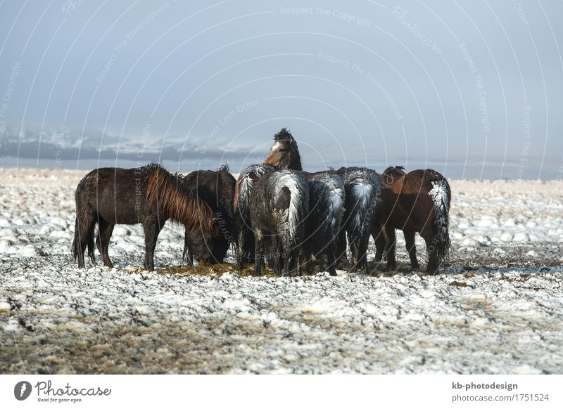 Herd of Icelandic horses after a snow storm in winter Vacation & Travel Tourism Adventure Far-off places Winter Horse Iceland pony snowy ponies Bangs ride