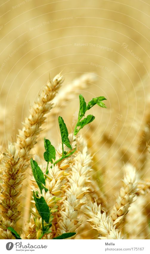 Nature Green Plant Summer Yellow Moody Field Environment Gold Growth Natural Grain Brave Cornfield Sympathy Tendril