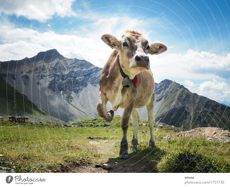 Swiss cow model Cheese Yoghurt Dairy Products Hiking Yoga Environment Nature Landscape Plant Animal Earth Sky Clouds Sun Sunlight Summer Weather