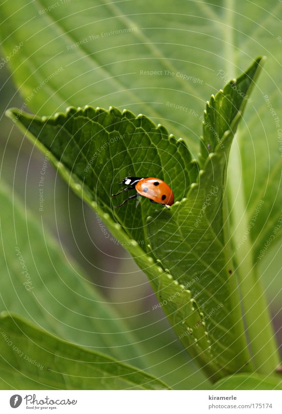 Nature Green Red Black Animal Small Natural Ladybird Crawl Stride Foliage plant