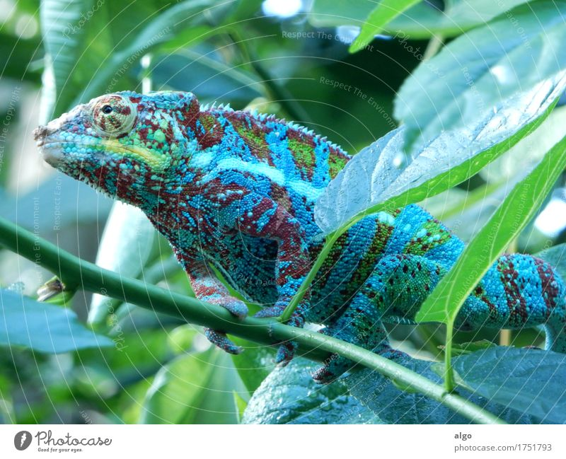Chameleon in Masoala Hall (rainforest) of Zurich Zoo Leaf Foliage plant Virgin forest Animal Animal face Scales 1 Observe Wait Exotic Green Self Control