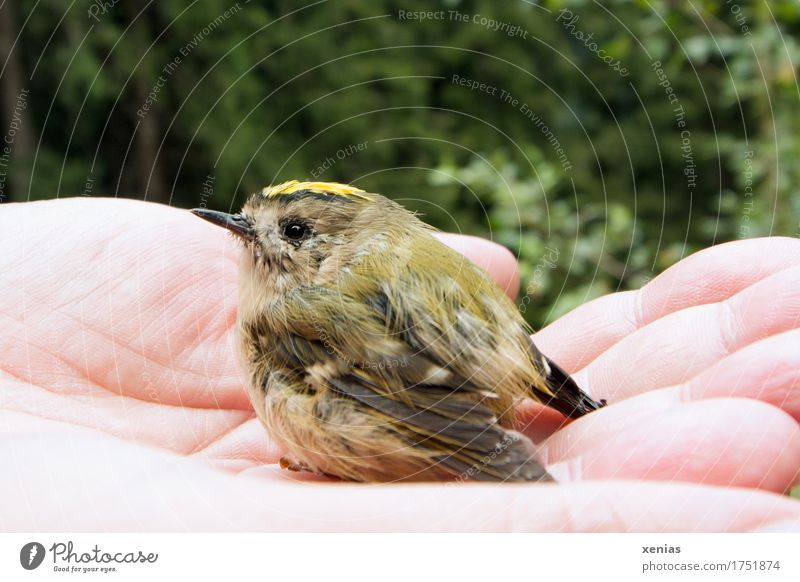 Winter goldcrest in one hand birds Winter Goldencrest by hand Fingers Forest Grand piano regulus regulus 1 Animal Small Yellow green Black Trust