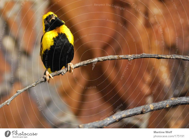 song contest Animal Bird 1 Brown Yellow Black Passion Nature Pride Branch Sing Colour photo Multicoloured Deserted Shallow depth of field Animal portrait