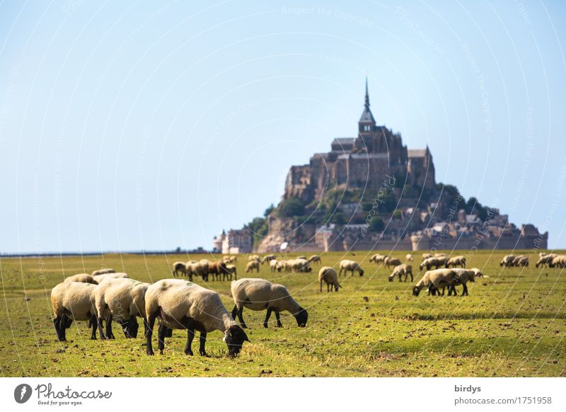 Mont-Saint-Michel and the sheep Vacation & Travel Tourism Summer vacation Landscape Cloudless sky Beautiful weather Meadow Mountain Island France Church