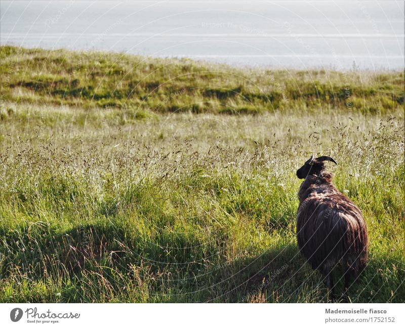 as a black sheep lives 's well II Nature Landscape Plant Animal Grass Willow tree Meadow Sheep 1 Observe Looking Stand Free Infinity Natural Curiosity