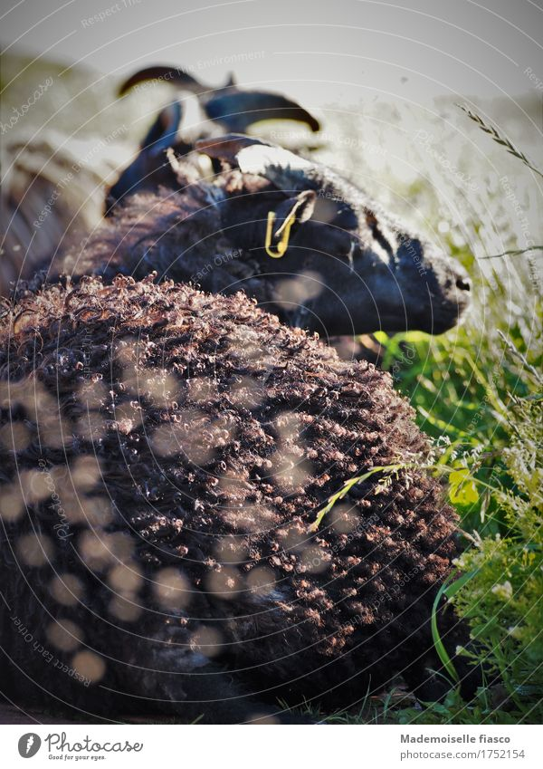 as a black sheep lives 's well Plant Animal Meadow Sheep 1 To enjoy Lie Sleep Natural Cute Contentment Relaxation Healthy Idyll Nature Calm Environment