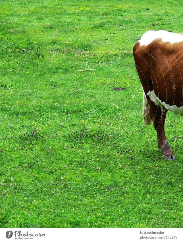 Nature Green Grass Happy Hind quarters Farm Cow To feed Half Alpine pasture Bull Calf Cattle Farm animal Livestock Pasture