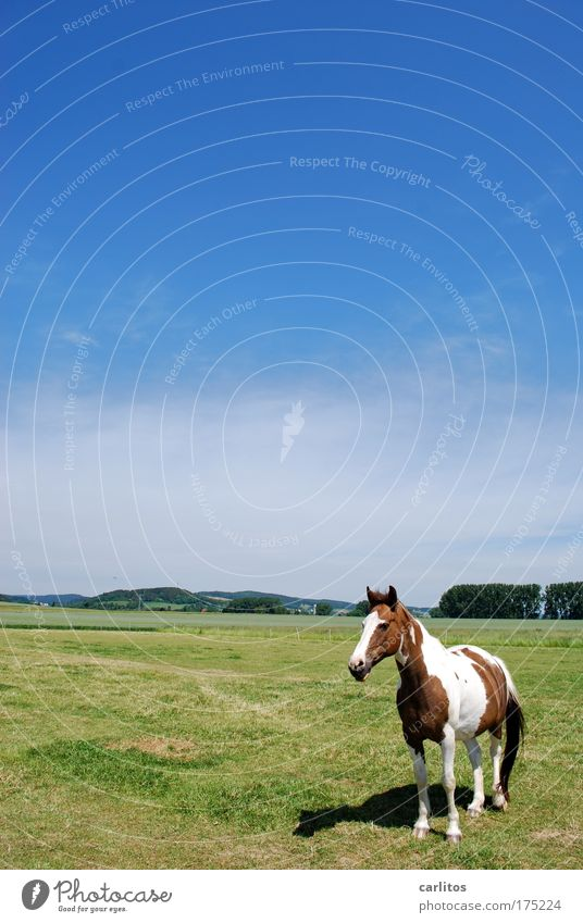 Lucky Luke is just for little cowboys. Wide angle Animal portrait Leisure and hobbies Ride Trip Cloudless sky Summer Meadow Farm animal Horse Observe Relaxation