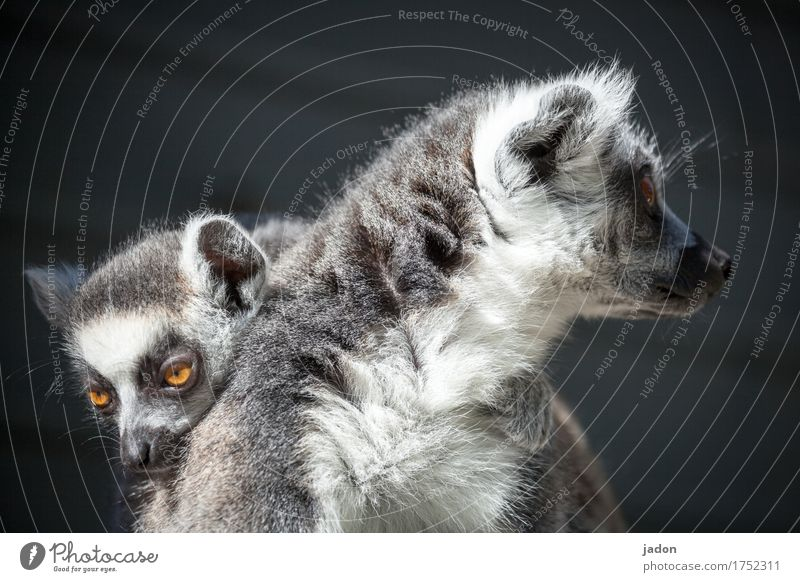 we belong together. Nature Animal Animal face Pelt Ring-tailed Lemur Half-apes 2 Pair of animals Baby animal Dream Touch Relaxation Love Looking Embrace
