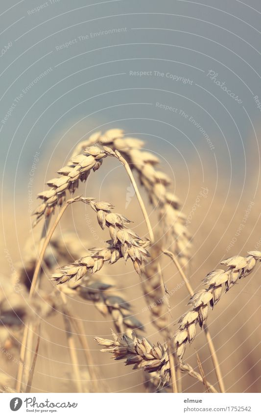 Maturing time (1) Summer Wheat Wheatfield Wheat ear Ear of corn Grain Network Mature Hang Natural Yellow Gold Warm-heartedness Romance Energy Nature Survive