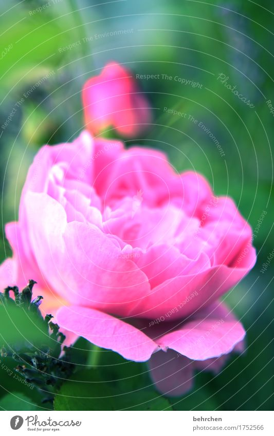 rosy Nature Plant Summer Beautiful weather Flower Rose Leaf Blossom Garden Park Meadow Blossoming Fragrance Summery Fresh Bright Pink Lavender Colour photo