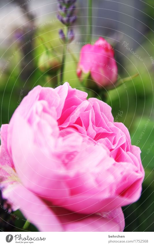 Nature Plant Summer Beautiful Leaf Blossom Meadow Garden Pink Park Blossoming Beautiful weather Rose Fragrance Bud Blossom leave