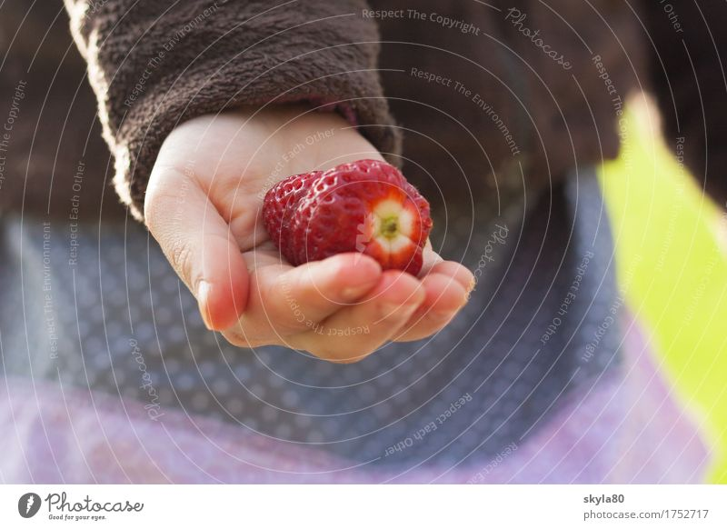 pick-me-up Strawberry by hand Children`s hand Harvest fruit Offer Thanksgiving share Give Nutrition Food Vegetarian diet Organic produce Fresh Delicious