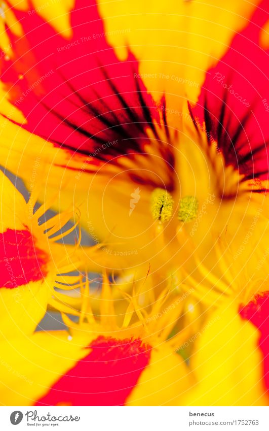 on fire Nature Plant Summer Flower Blossom Nasturtium Blossoming Aggression Yellow Red Beautiful Splendid Intensive Prongs Point Delicate Pistil Focus on