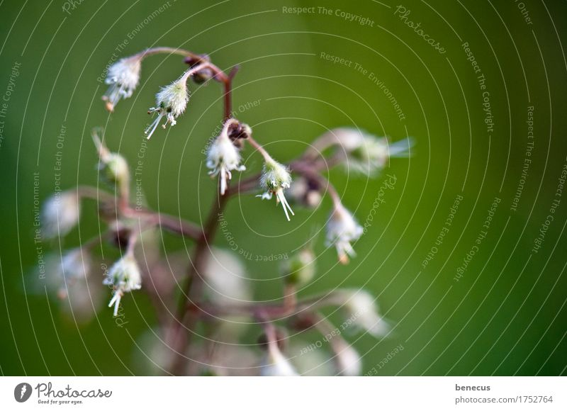 Plant Green Beautiful White Flower Blossom Spring Natural Beginning Blossoming New Delicate Bud Hang Against Stretching