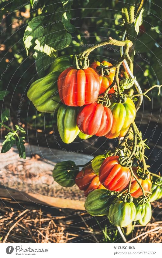 Ox heart tomatoes in garden Vegetable Design Healthy Eating Life Garden Nature Vitamin Organic produce Tomato ox heart tomatoes Garden Bed (Horticulture)
