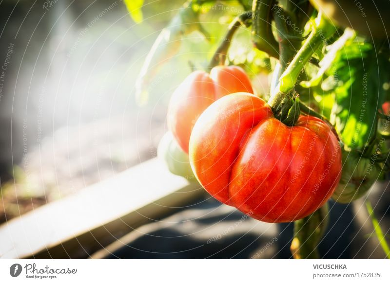 Ripe tomato plant in the garden Lifestyle Design Healthy Eating Summer Garden Nature Beautiful weather Vitamin Tomato Organic produce Plant