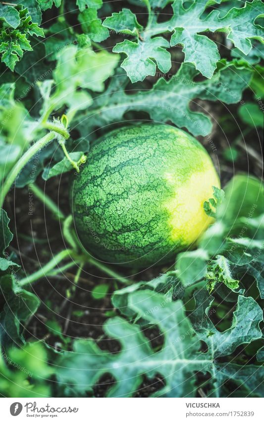 Nature Plant Summer Healthy Eating Life Lifestyle Garden Food Design Fruit Organic produce Harvest Garden Bed (Horticulture) Water melon