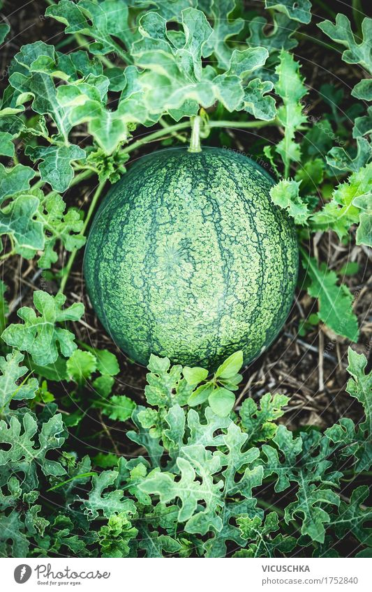 Nature Plant Summer Healthy Eating Life Lifestyle Garden Food Design Fruit Earth Organic produce Harvest Water melon Extend