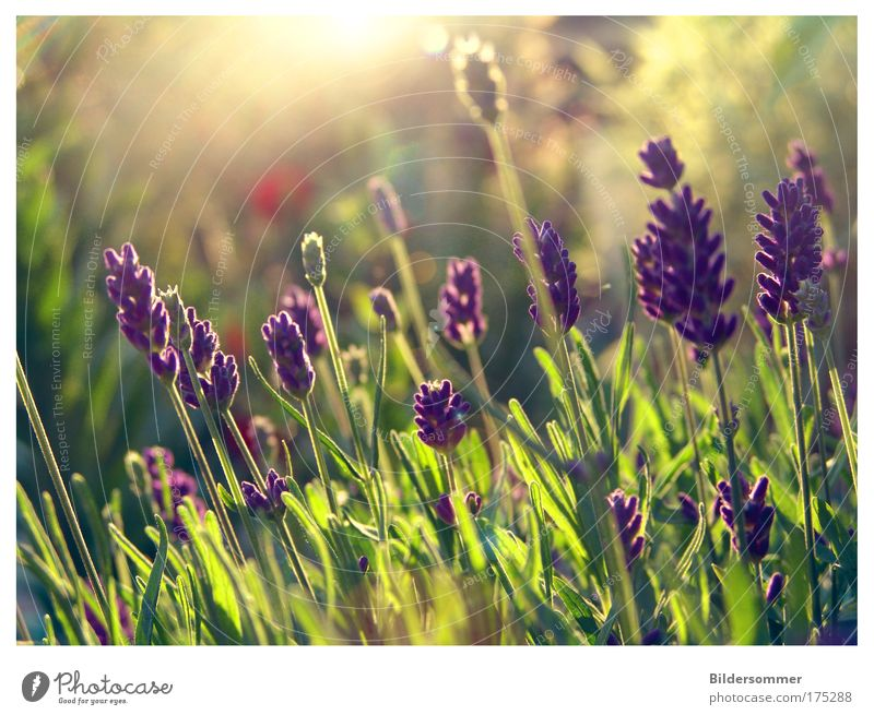 Nature Beautiful Flower Green Plant Red Summer Calm Relaxation Peace Violet Back-light Flower meadow Lavender Medicinal plant