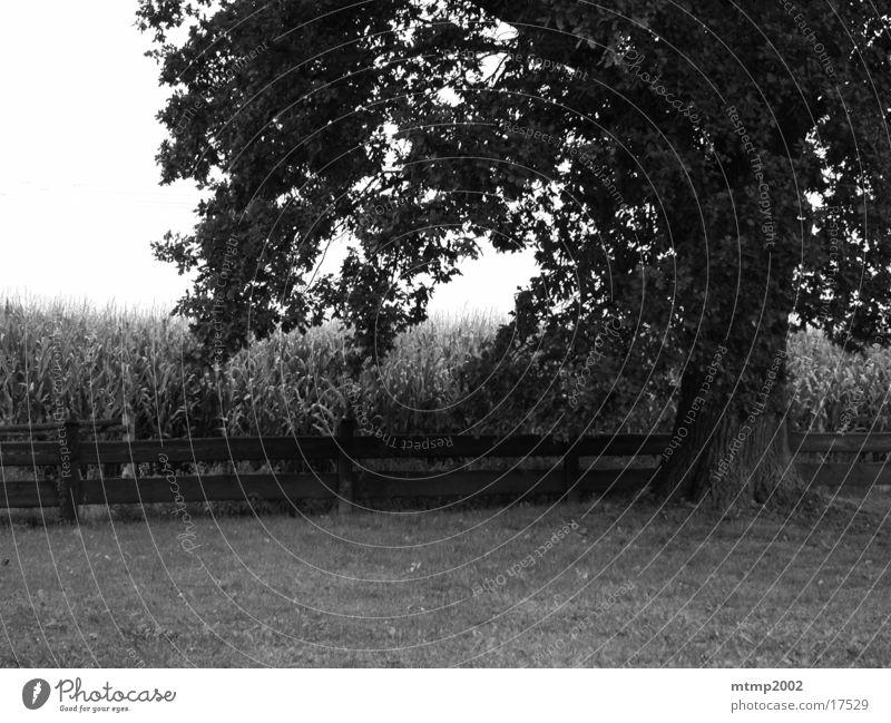 Tree next to field Summer Field Maize field Branch Sun Black & white photo