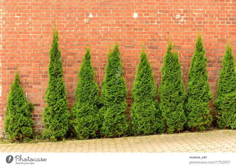 Execution of the Conifers Plant Foliage plant Bushes Tree Garden Town Places Wall (barrier) Wall (building) Backyard Brick wall Brick facade Green Leaf Branch