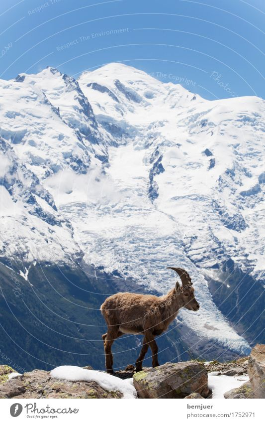 Capricorn in the French Alps Summer Snow Mountain Nature Landscape Animal Spring Meadow Rock Glacier Cold Blue graze Alpine Chamonix Europe Ice Cor anglais