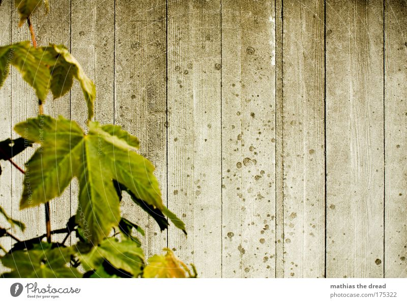 Old Green Plant Leaf Cold Wall (building) Architecture Gray Wall (barrier) Gloomy Contact Ruin Seam Furrow Sharp-edged Maple tree