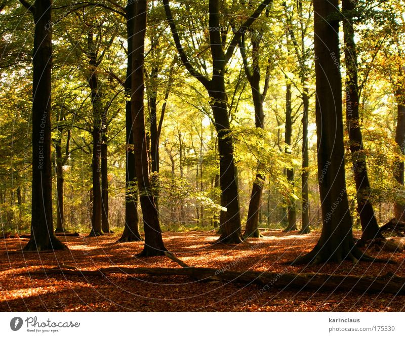 mystery autumn Environment Nature Landscape Plant Sunlight Autumn Climate Weather Tree Bushes Leaf Forest european broad-leaved tree forest  covered with beech