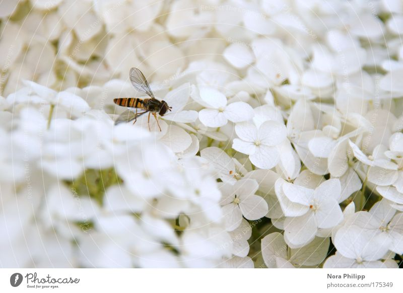 Hoverfly in paradise Colour photo Subdued colour Exterior shot Copy Space right Day Blur Animal portrait Nature Plant Spring Summer Flower Blossom Fly Bee
