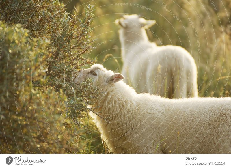 summer sheep Eating Agriculture Forestry Livestock breeding Sunlight Summer Beautiful weather Grass Bushes Sallow thorn Meadow Pasture Denmark Jutland Animal