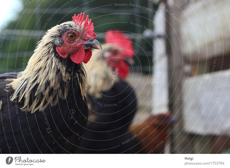 wait... Environment Nature Animal Summer Pet Farm animal Barn fowl 3 Group of animals Fence Wood Looking Stand Wait Esthetic Authentic Together Beautiful