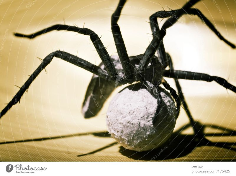 lycosidae Colour photo Macro (Extreme close-up) Artificial light Shadow Contrast Silhouette Animal portrait Spider 1 Animal family Nature