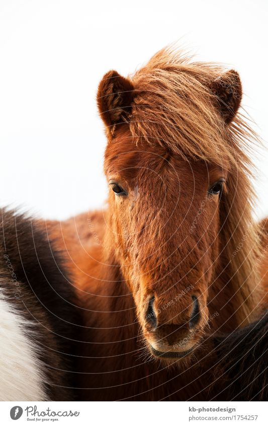 Portrait of an Icelandic pony Winter Horse 1 Animal Vacation & Travel Iceland pony Iceland ponies brown mane Bangs stallion mare Icelanders ride horses mammal