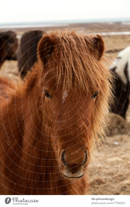 Portrait of a brown Icelandic horse Vacation & Travel Adventure Far-off places Winter Horse 1 Animal Icelanic pony snow weather Bangs ride mammal breed freedom