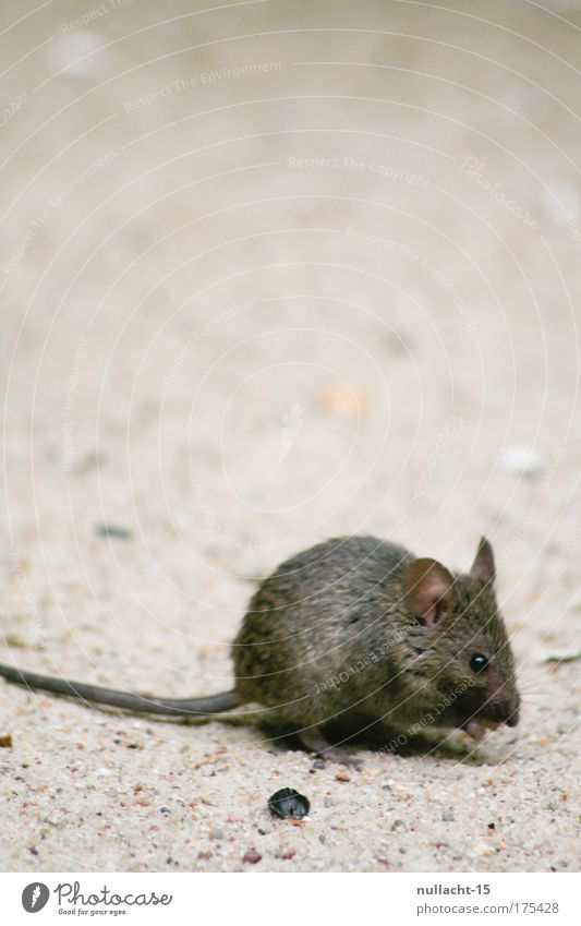 Nature Animal Sand Brown Small Walking Near Natural Zoo Discover Appetite Watchfulness Mouse To feed Pet Crawl