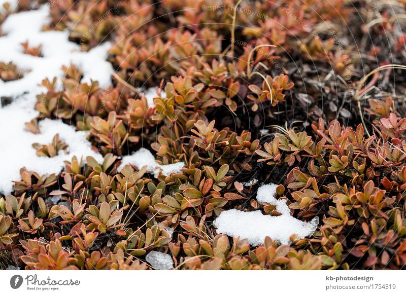 Small plants grow on volcanic underground, Iceland Vacation & Travel Tourism Adventure Far-off places Winter Winter vacation Plant Wind Bushes shrub bush shrubs