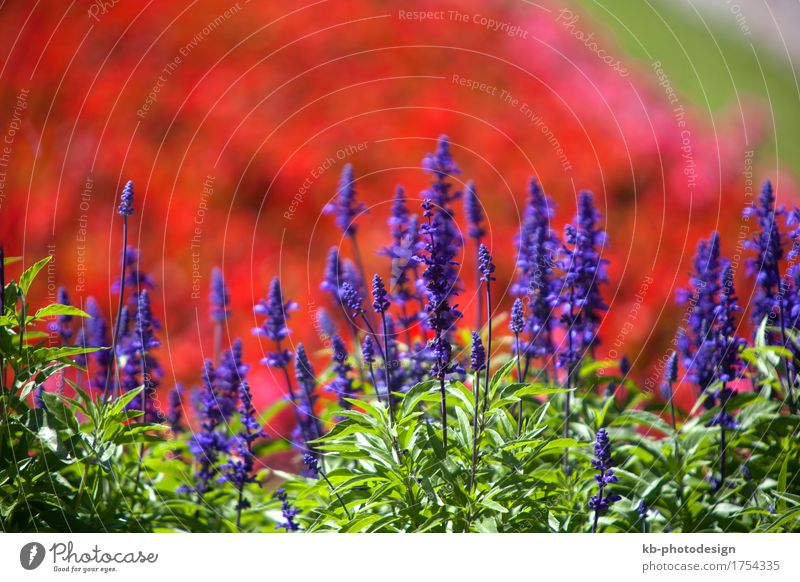 Nature Plant Summer Landscape Blossoming Sage Meadow clary
