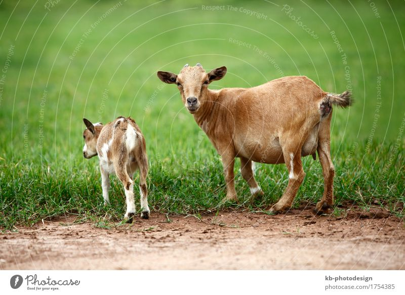 Portrait of african goats Farm animal Goats To feed agriculture Africa animals beef biologically chew landscape male goat food palm palm trees thin farm