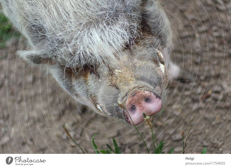 such a mess... Environment Nature Animal Earth Pet Animal face Pot-bellied pig 1 Observe Looking Stand Authentic Exceptional Uniqueness Natural Brown Gray Pink