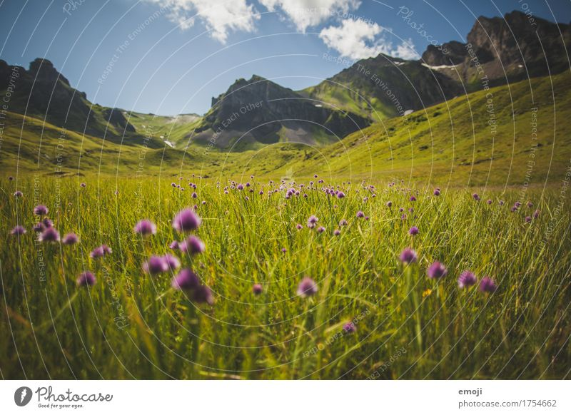 alpine meadow Environment Nature Landscape Summer Beautiful weather Flower Meadow Alps Mountain Natural Green Violet Alpine pasture Flower meadow Tourism