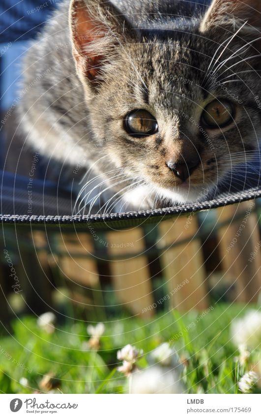 Green Eyes Animal Playing Grass Garden Gray Cat Observe Pelt Paw Pet Deckchair Domestic cat Clover Baby animal